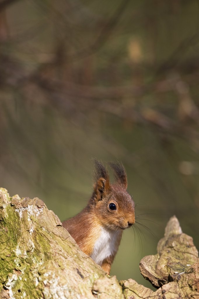 Red Squirrel, Sciurus Vulgaris, Adult, Normandy : Stock Photo