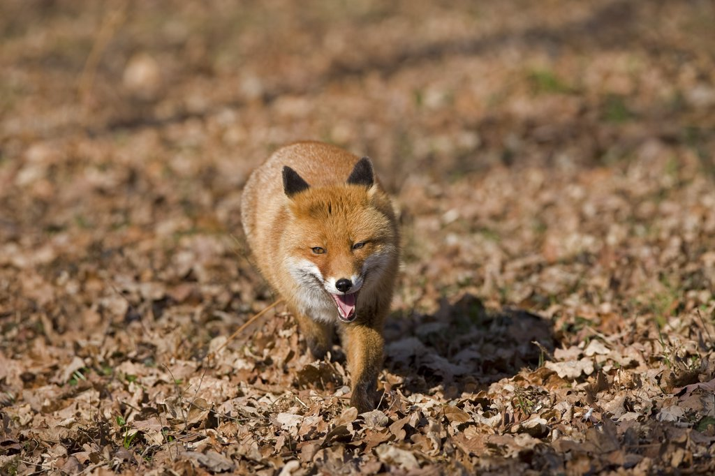Red Fox Vulpes Vulpes, Male Standing On Fallen Leaves, Normandy In France : Stock Photo