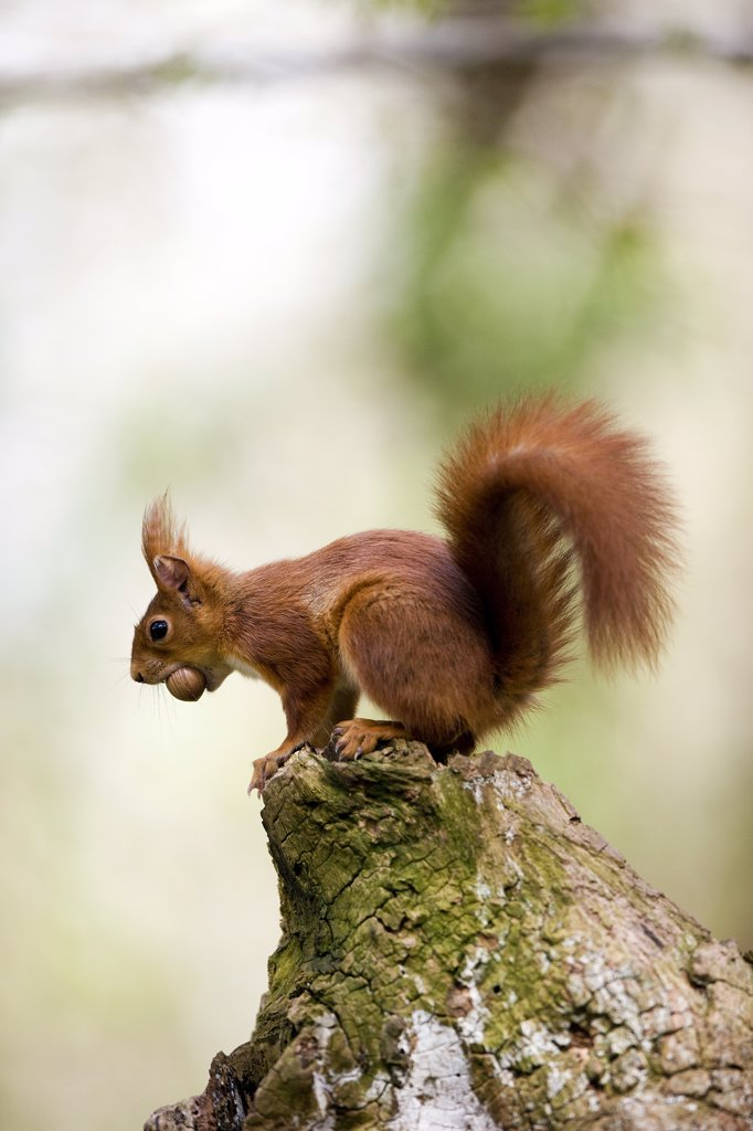 Stock Photo: 4273-13925 Red Squirrel Sciurus Vulgaris, Adult Holding Hazelnut In Mouth, Normandy In France