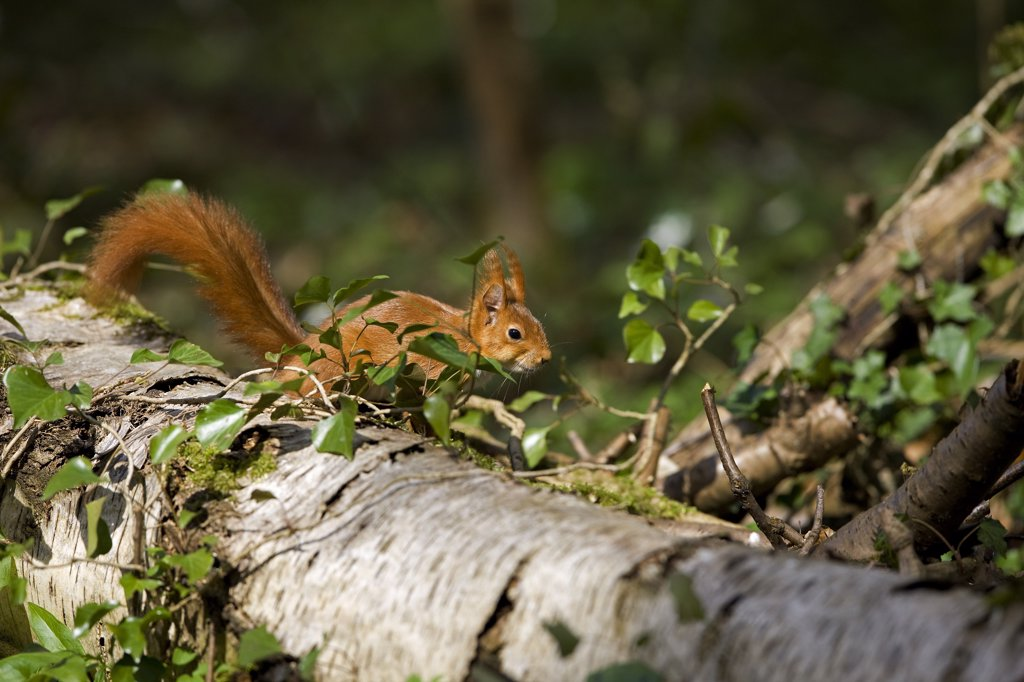 Stock Photo: 4273-13931 Red Squirrel Sciurus Vulgaris, Adult Standing On Branch, Normandy In France