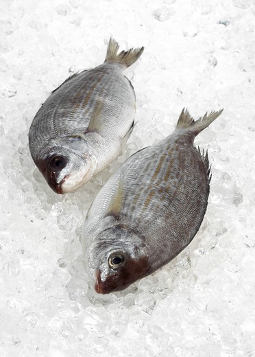 Fersh Gilthead Bream On Ice : Stock Photo