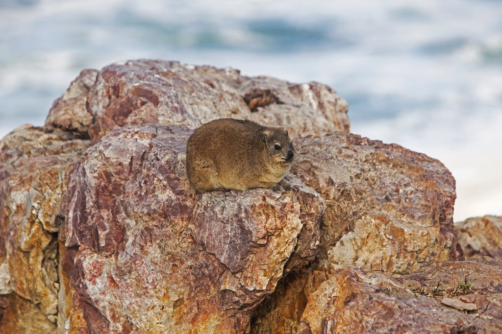 Stock Photo: 4273-14359 Rock Hyrax Or Cape Hyrax, Procavia Capensis, Adult Standing On Rock, Hermanus In South Africa