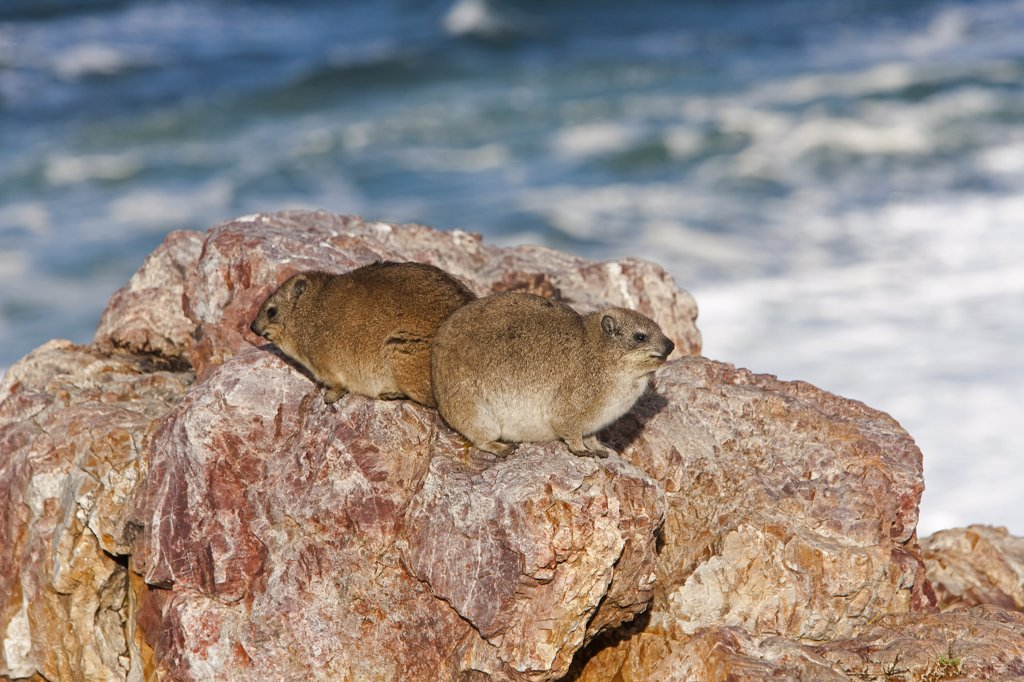 Stock Photo: 4273-14360 Rock Hyrax Or Cape Hyrax, Procavia Capensis, Adults Standing On Rocks, Hermanus In South Africa