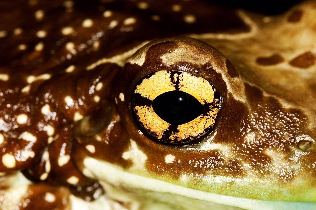 Stock Photo: 4273-14629 Amazon Milk Frog Phrynohyas Resinifictrix, Close-Up Of Eye