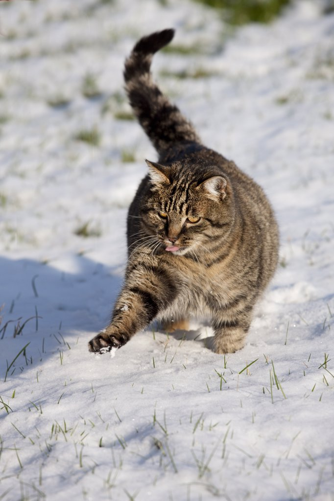 Stock Photo: 4273-14655 Brown Tabby Domestic Cat, Female Playing On Snow, Normandy