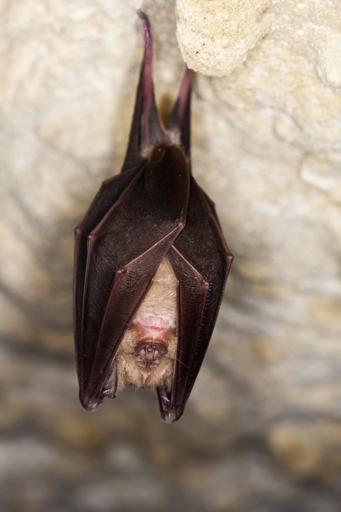 Stock Photo: 4273-14662 Greater Horseshoe Bat Rhinolophus Ferrumequinum, Adult Hibernating In A Cave, Normandy In France