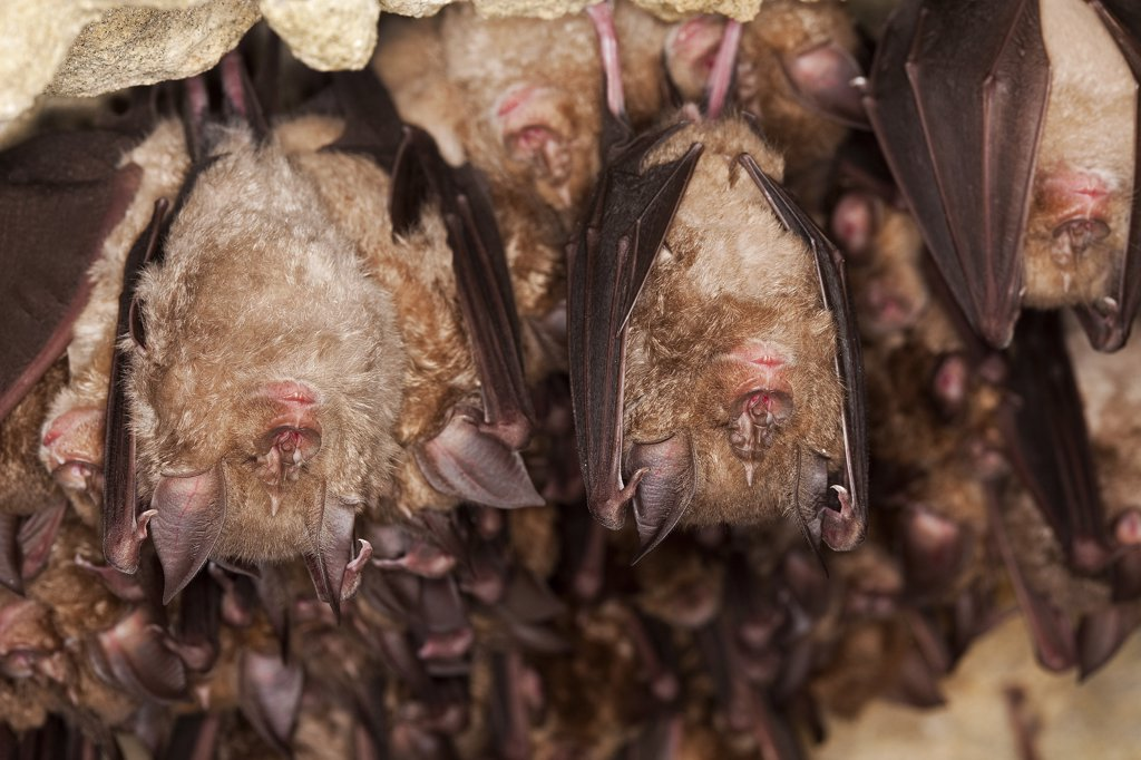 Greater Horseshoe Bat Rhinolophus Ferrumequinum, Colony Hibernating In A Cave, Normandy In France : Stock Photo