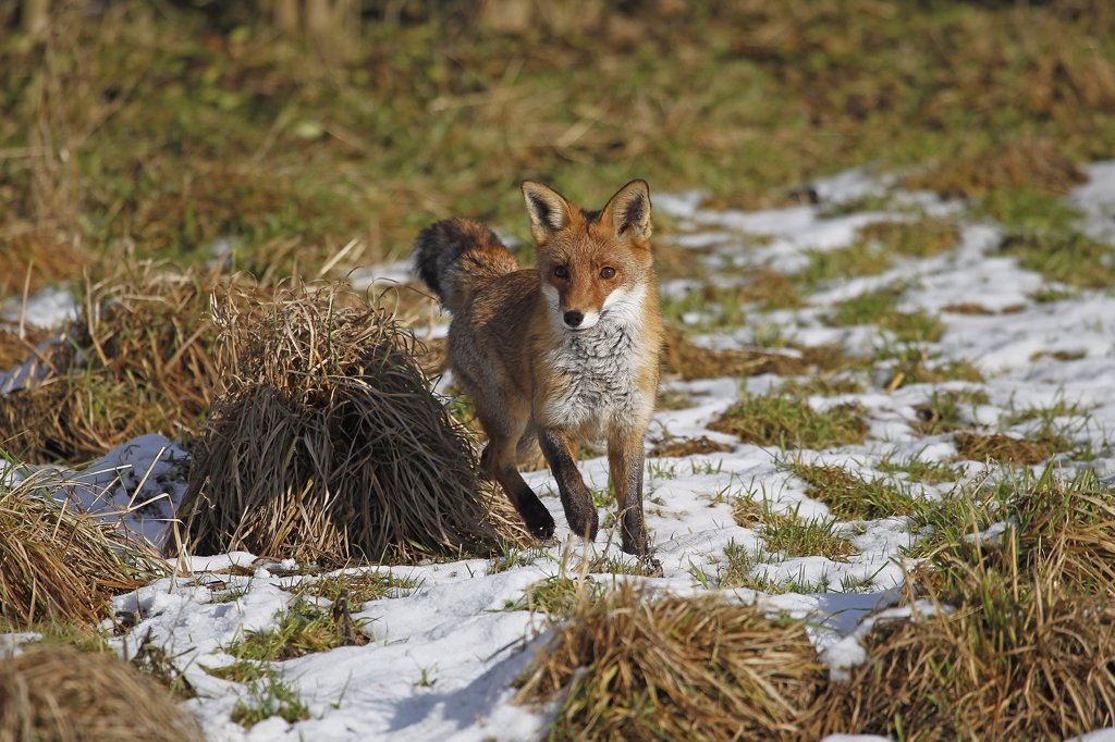 Red Fox Vulpes Vulpes, Female Standing On Snow, Normandy In France : Stock Photo