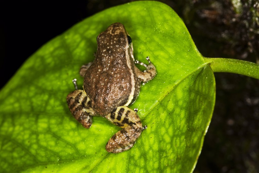 Stock Photo: 4273-14708 Poison Dart Frog Colostethus Infraguttatus, Adult Standing On Leaf, Ecuador