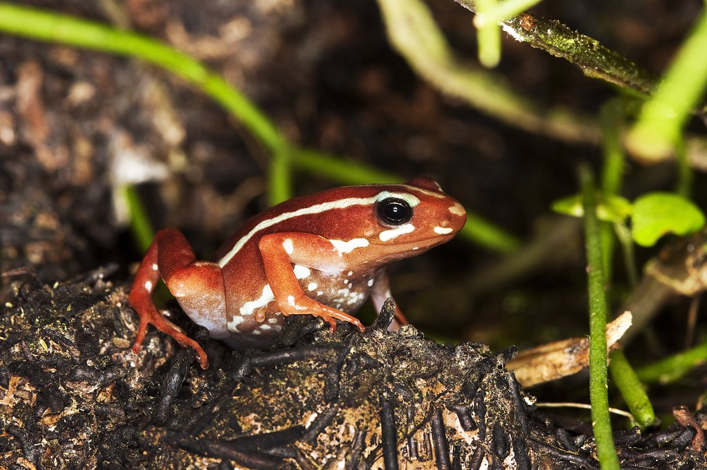Stock Photo: 4273-14715 Phantasmal Poison Frog Epipedobates Tricolor, Adult
