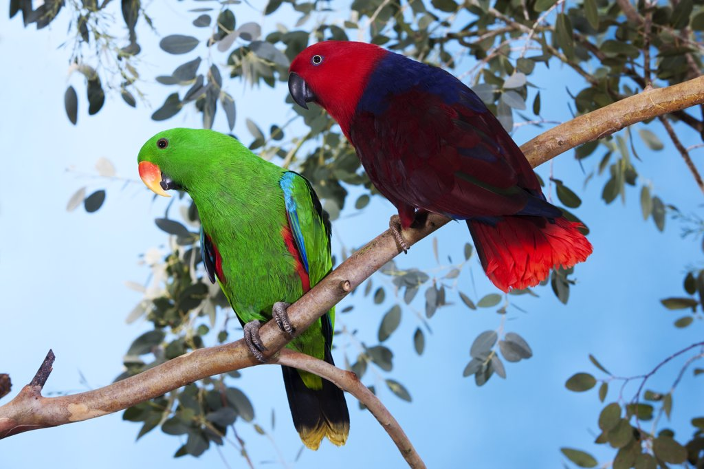Stock Photo: 4273-14762 Eclectus Parrot, Eclectus Roratus, Pair Standing On Branch
