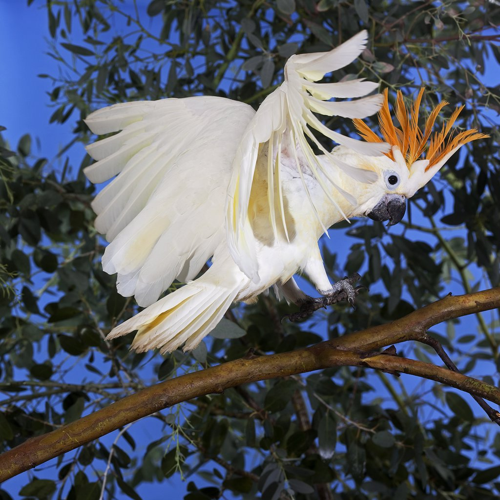 Citron-Crested Cockatoo Cacatua Sulphurea Citrinocristata, Adult Landing On Branch : Stock Photo