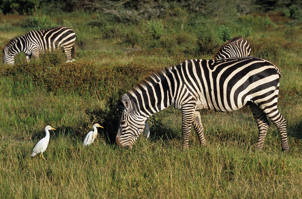 Stock Photo: 4273-15006 Burchell's Zebra, equus burchelli, Adult with Cattle Egret, bubulcus ibis, Kenya