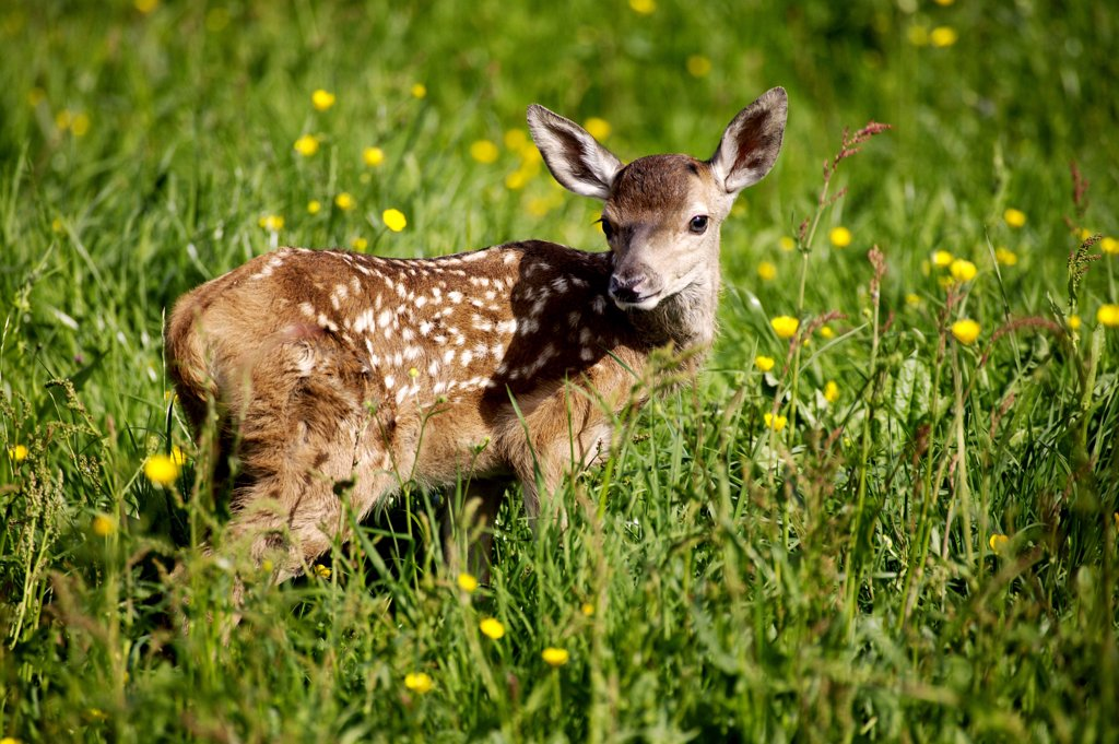 Roe Deer, capreolus capreolus, Fawn standing in Yellow Flowers, Normandy : Stock Photo