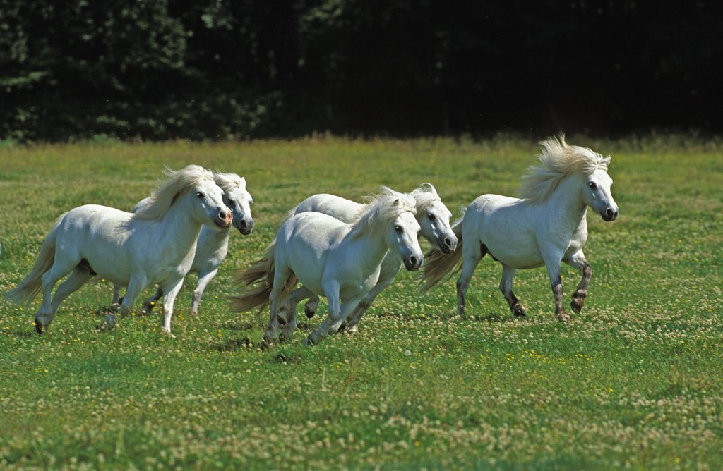 Shteland Pony, Herd Galloping through Meadow : Stock Photo