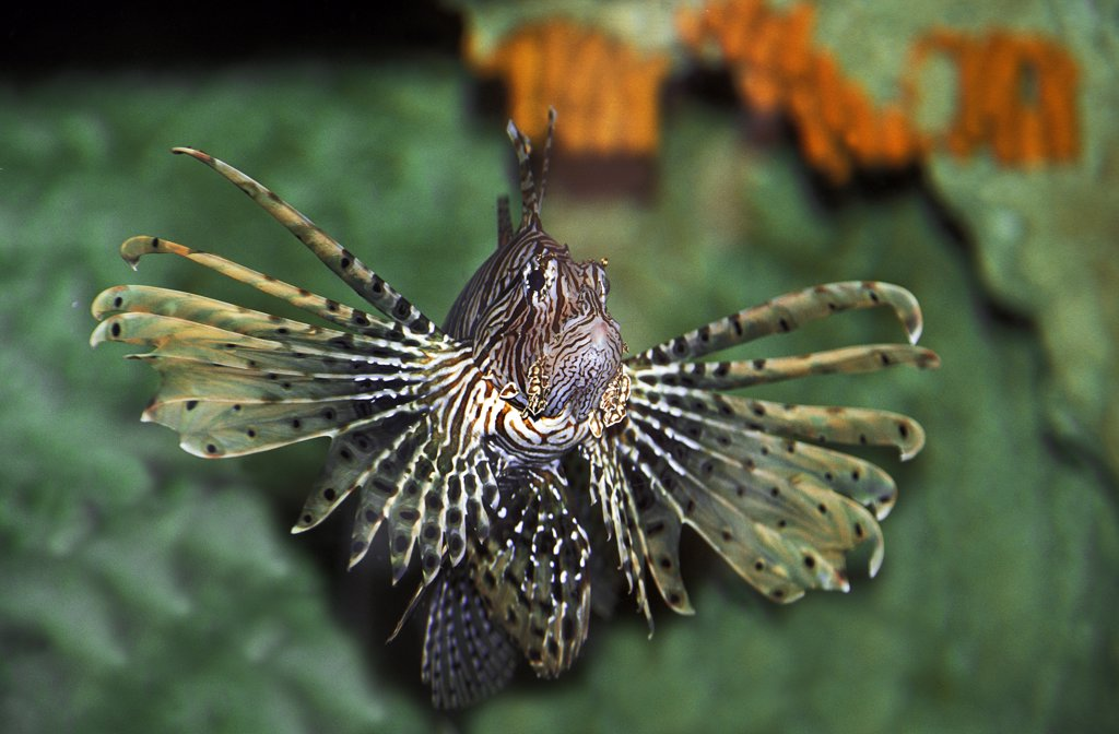 Common Lion Fish, pterois volitans, Venemous Fish : Stock Photo