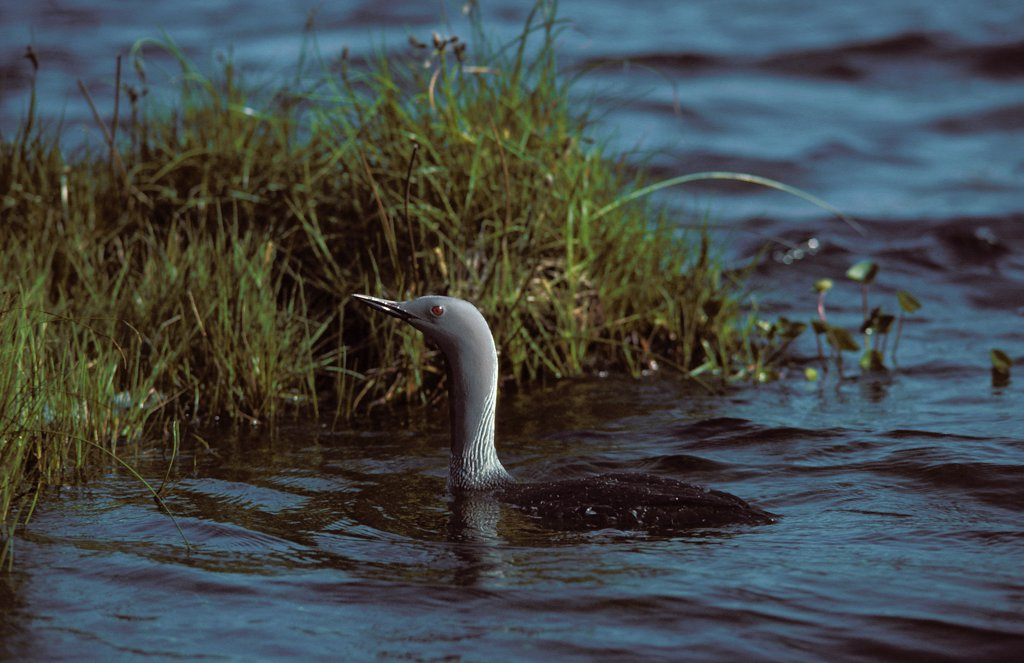 Red Throated Diver, gavia stellata, Adult standing in Water, Lake in Canada : Stock Photo