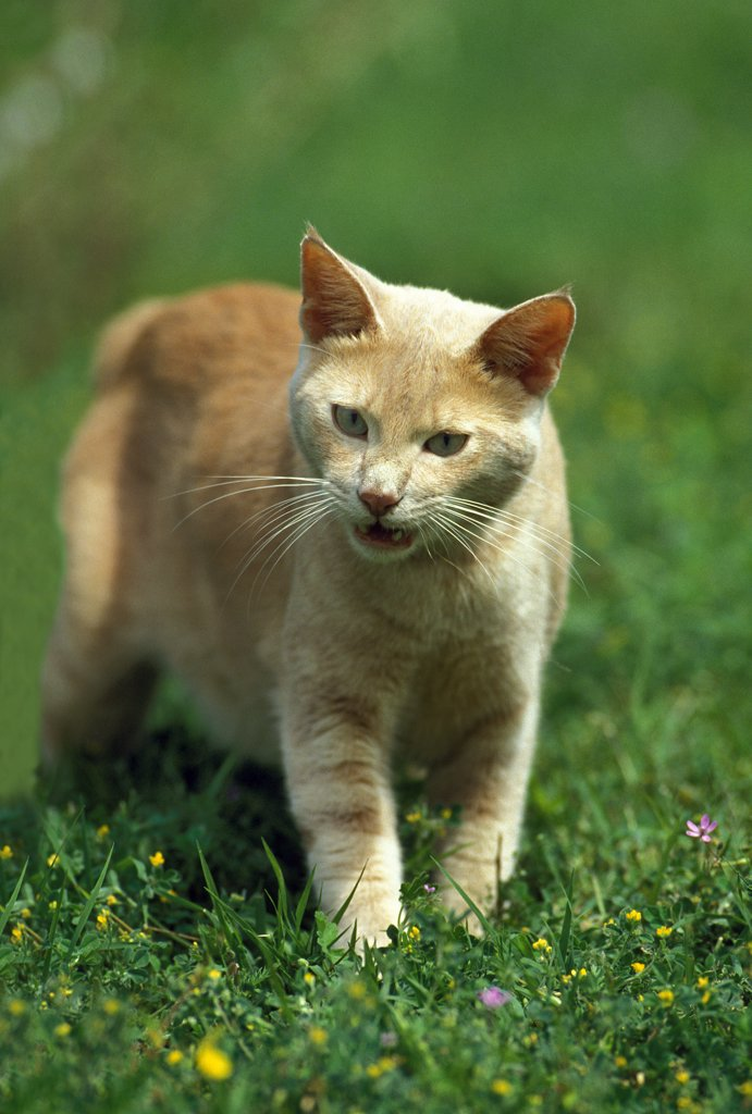 Stock Photo: 4273-15670 Red Domestic Cat, Adult Meowing, standing on Grass