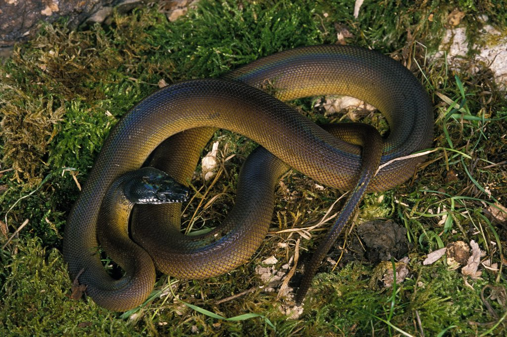 White Lipped Python, liasis albertisi, Adult standing on Grass : Stock Photo