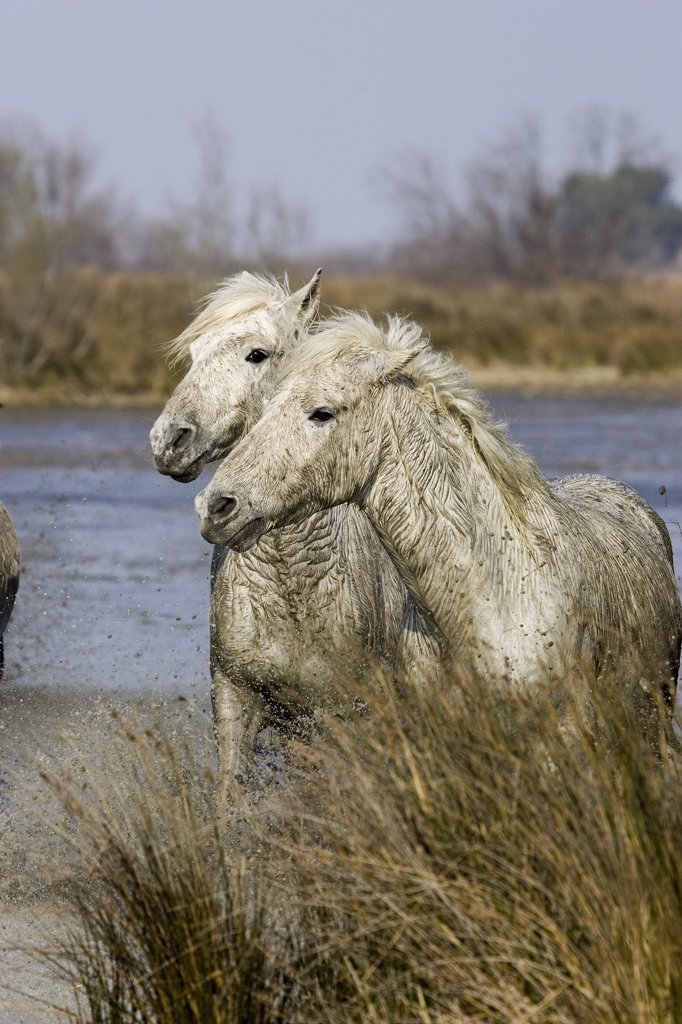 Camargue Horse, Horses standing in Swamp, Saintes Marie de la Mer in South East of France : Stock Photo