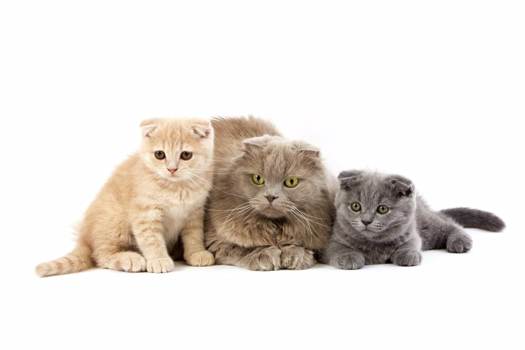 Stock Photo: 4273-15894 Female Lilac Self Highland Fold Domestic Cat with 2 months old Kittens Cream Scottish Fold and Blue Scottish Fold, Group laying against White Background