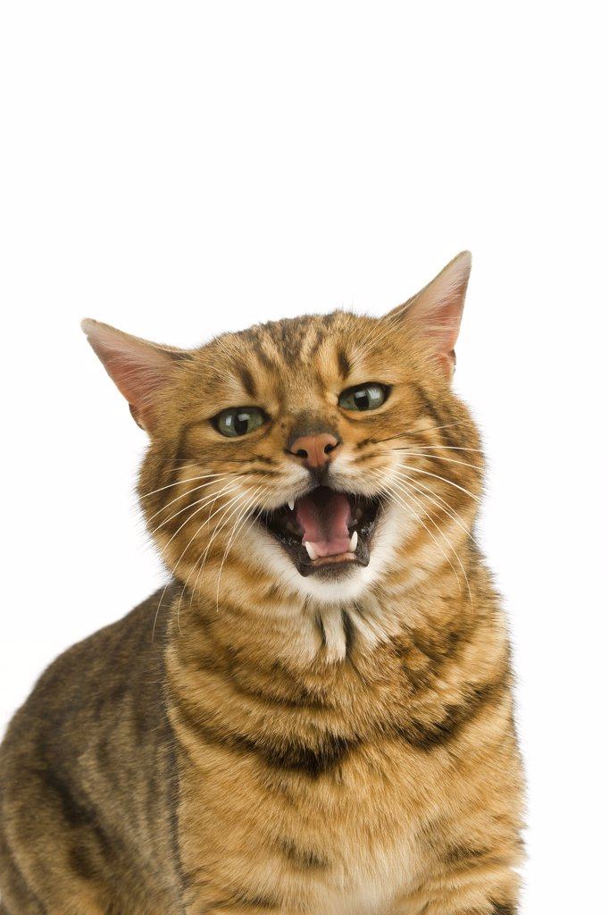 Brown Spotted Tabby Bengal Domestic Cat, Portrait of Adult Snarling against White Background : Stock Photo