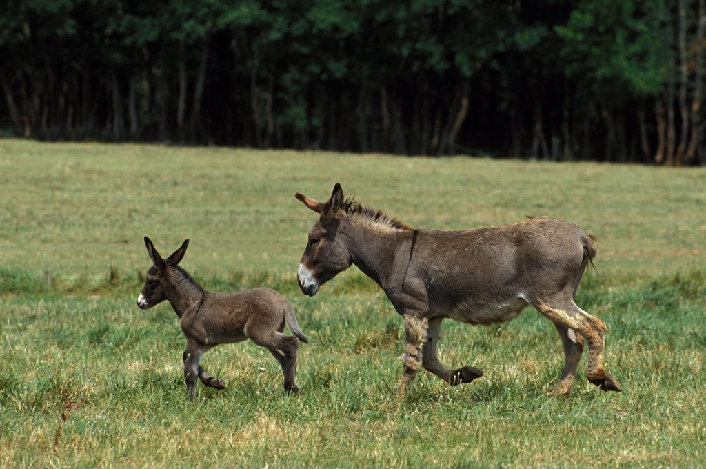 Grey Donkey, a French Breed, Mare with Foal : Stock Photo