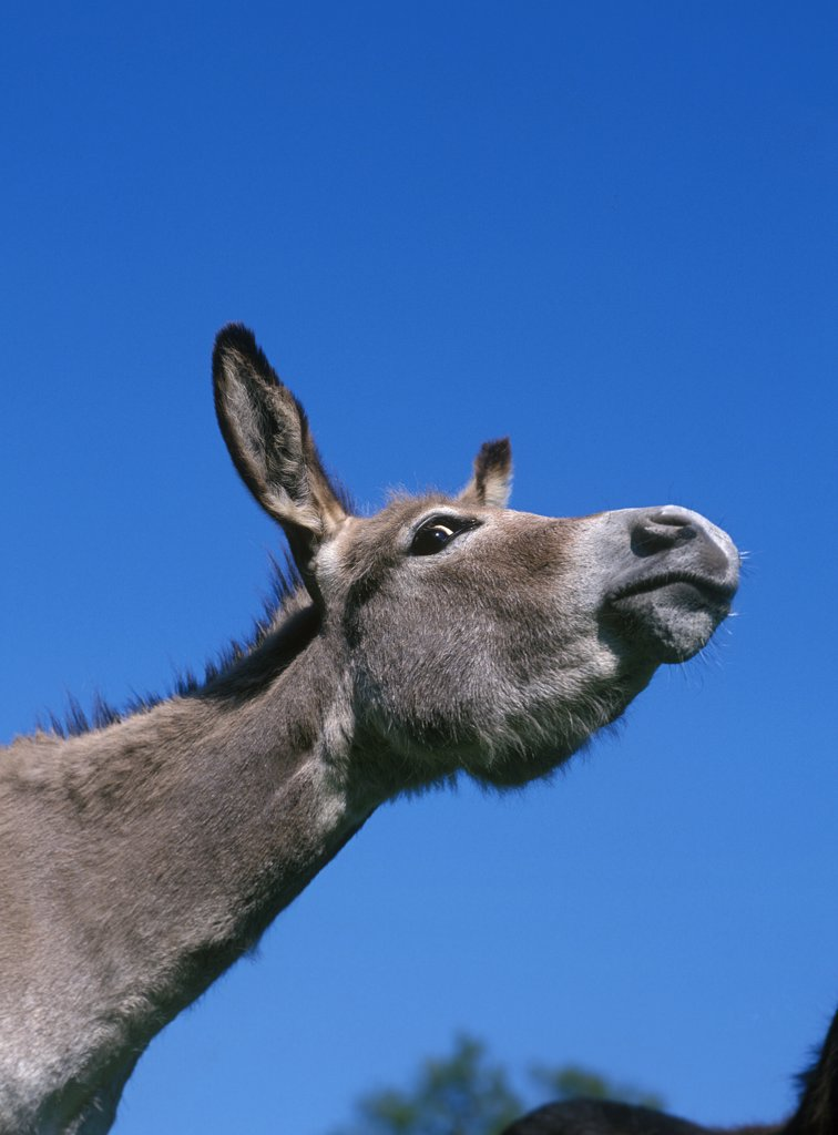 Grey Donkey, a French Breed, Portrait of Male against Blue Sky : Stock Photo