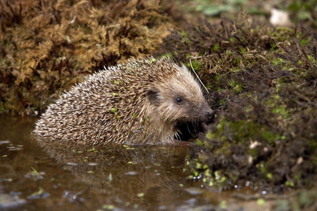 European Hedgehog, erinaceus europaeus, Adult standing in Water, Normandy : Stock Photo