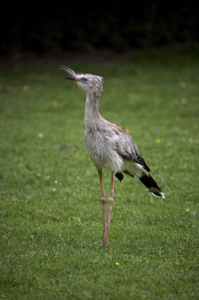 Stock Photo: 4273-16068 Red-Legged Seriema, cariama cristata, Adult standing on Grass