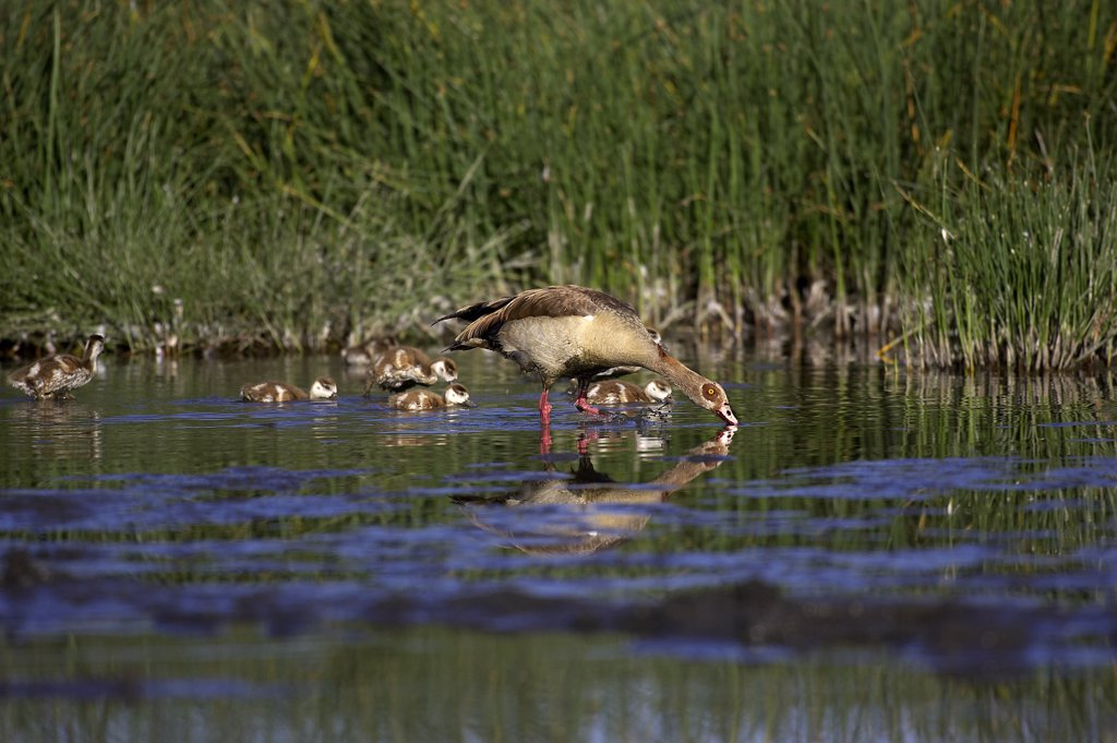 Stock Photo: 4273-16101 Egyptian Goose, alopochen aegyptiacus, Adult with Goslings standing in Water, Kenya