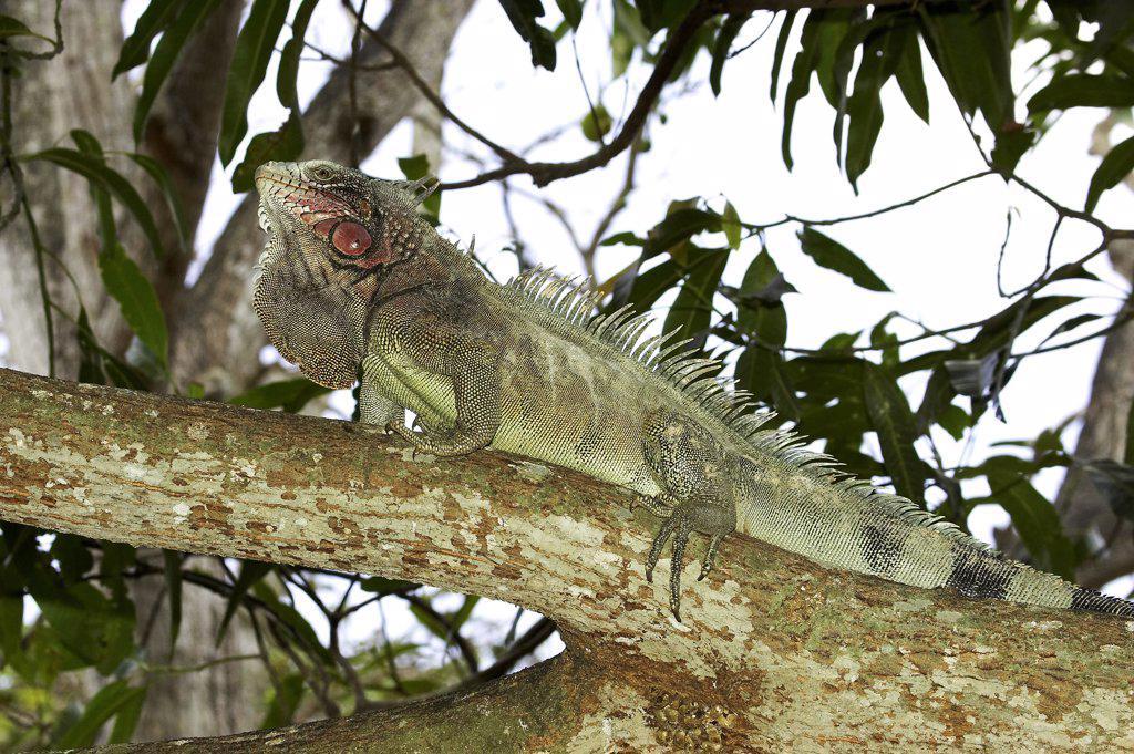 Stock Photo: 4273-16354 Green Iguana, iguana iguana, Adult perched in Tree, Los Lianos in Venezuela