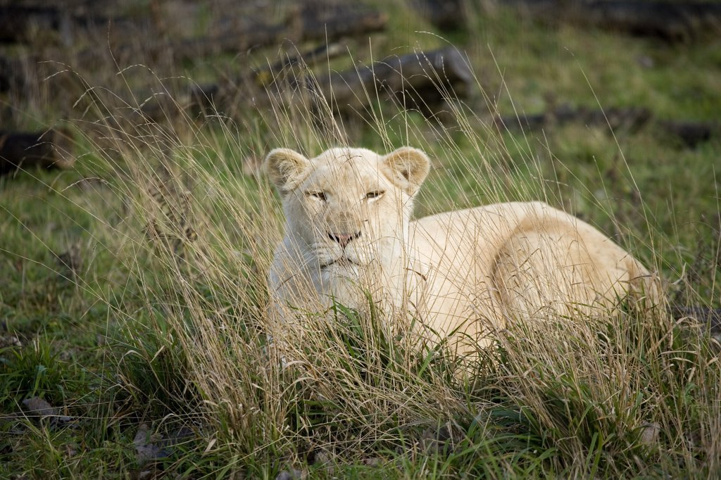 Stock Photo: 4273-16521 White Lion, panthera leo krugensis, Female Hidden behing Long Grass