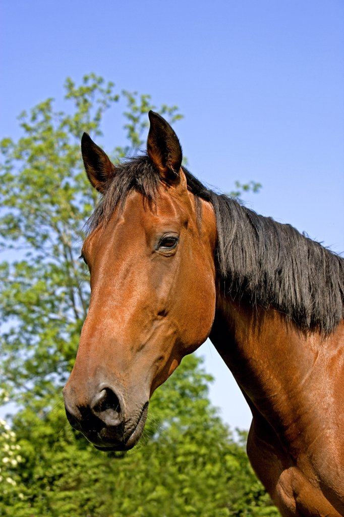 Stock Photo: 4273-16617 French Trotter Horse, Portrait of Mare, Normandy