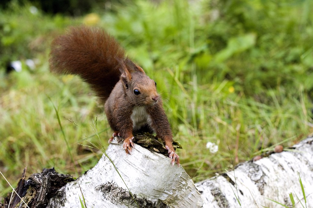 Stock Photo: 4273-16634 Red Squirrel, sciurus vulgaris, Adult standing on Branch, Normandy