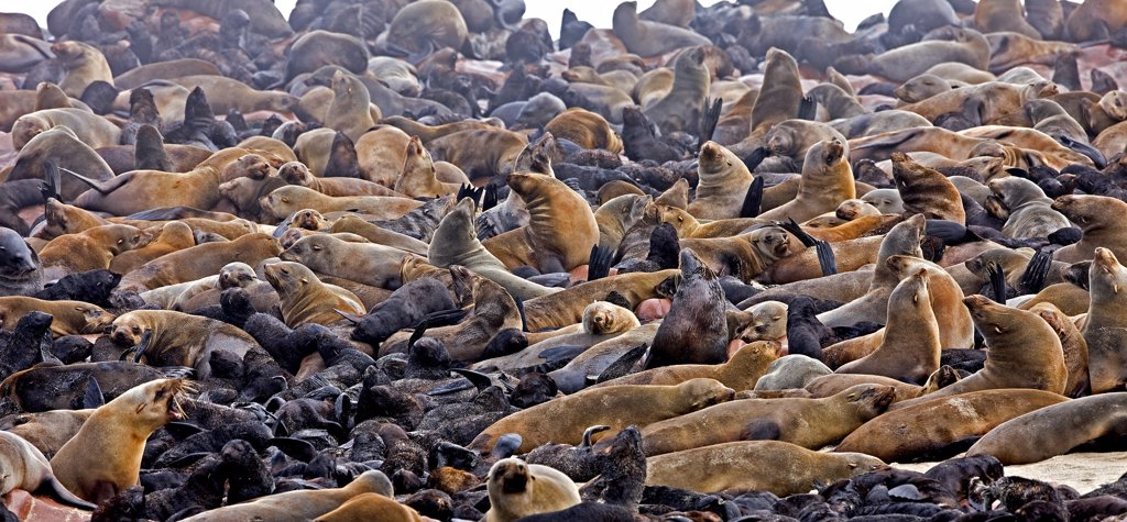 Stock Photo: 4273-16829 South African Fur Seal, arctocephalus pusillus, Females with Youngs, Colony at Cape Cross in Namibia