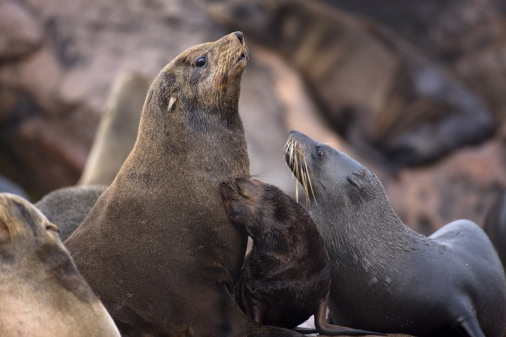 Stock Photo: 4273-16837 South African Fur Seal, arctocephalus pusillus, Females with Pup, Cape Cross in Namibia