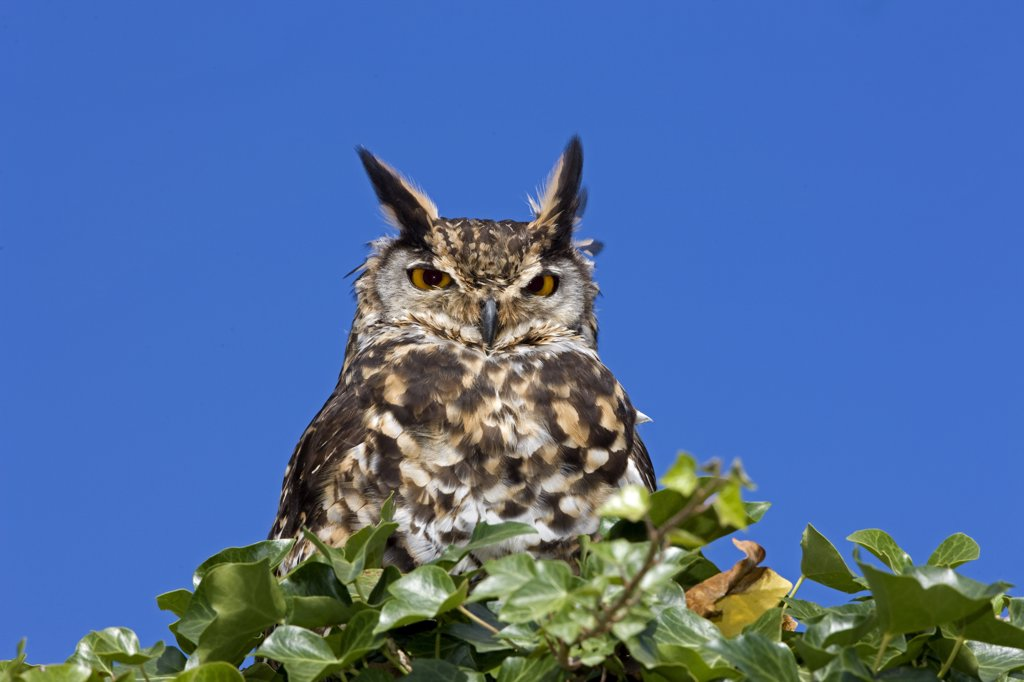Stock Photo: 4273-16887 Cape Eagle Owl, bubo capensis, Adult standing on Top of Tree