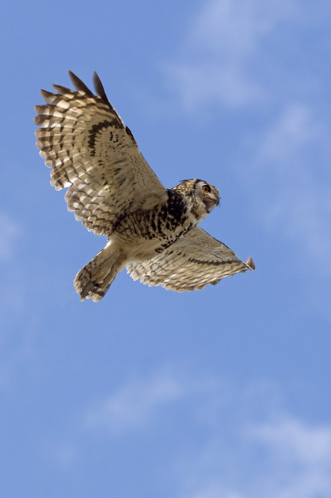 Stock Photo: 4273-16888 Cape Eagle Owl, bubo capensis, Adult in Flight against Blue Sky