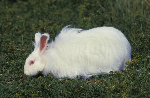 Stock Photo: 4273-17281 Angora Rabbit standing on Grass
