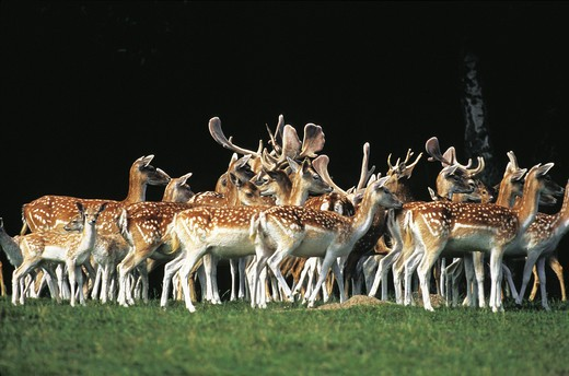 Fallow Deer, dama dama, Herd with Males and Females standing on Grass : Stock Photo