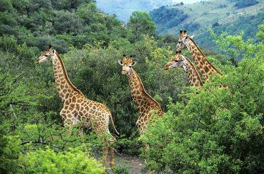 Rothschild's Giraffe, giraffa camelopardalis rothschildi, Herd emerging from Bush, Nakuru park in Kenya : Stock Photo