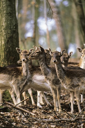 Fallow Deer, dama dama, Herd of Females standing in Forest : Stock Photo