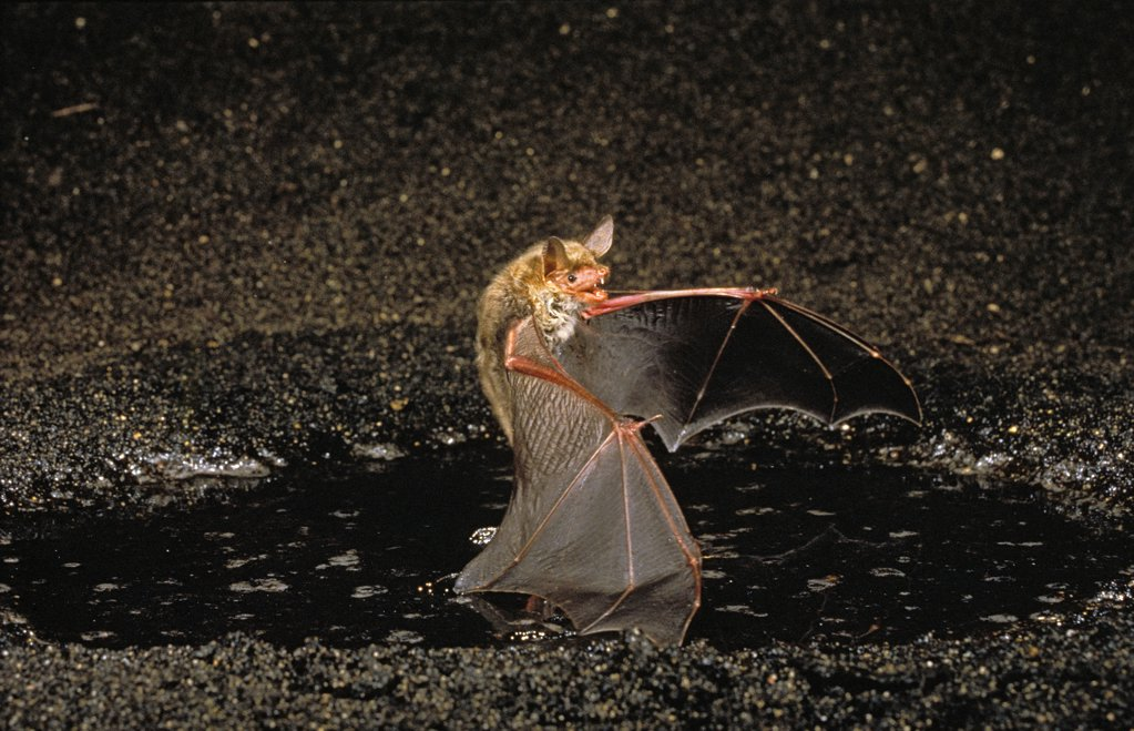 Mouse Eared Bat, myotis myotis, Adult in Flight : Stock Photo