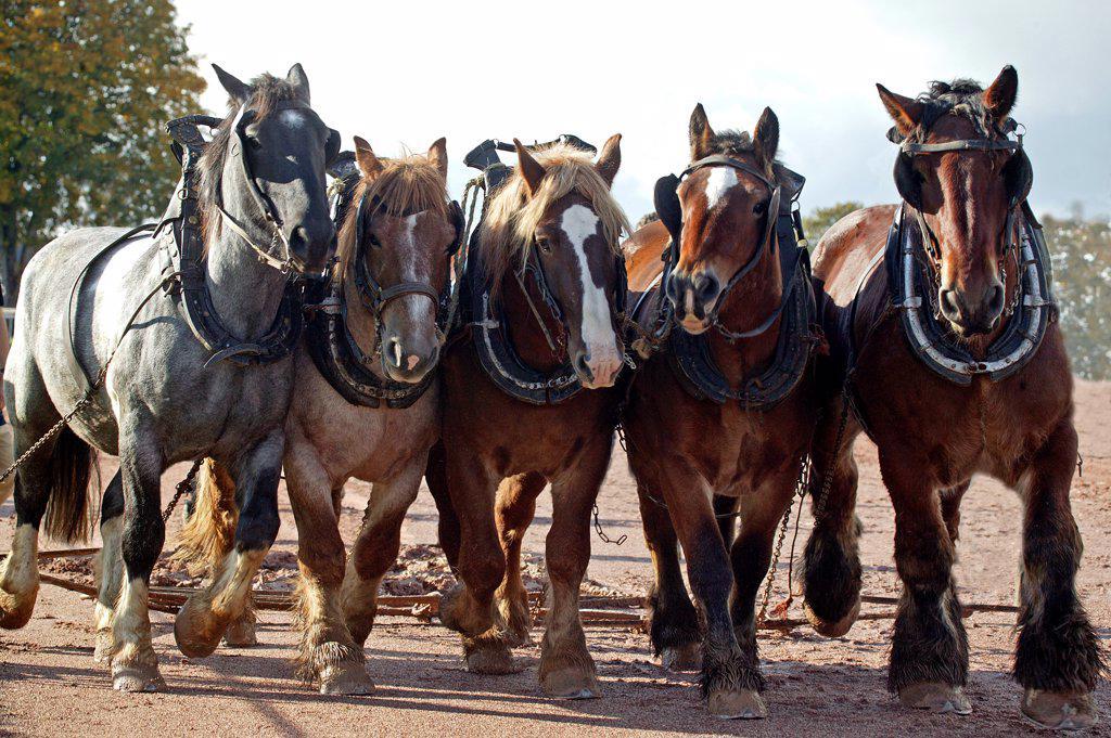 Stock Photo: 4273-18119 Brabant Belgian Drafthorse, Harness
