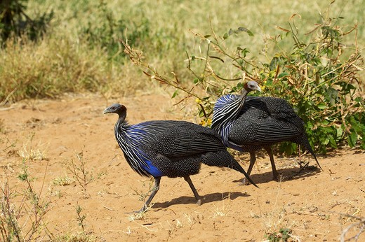 Vulturine Guineafowl, acryllium vulturinum, Samburu Park in Kenya : Stock Photo