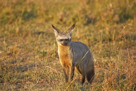 Bat Eared Fox, otocyon megalotis, Adult standing on Dry Grass, Masai Mara Park in Kenya : Stock Photo
