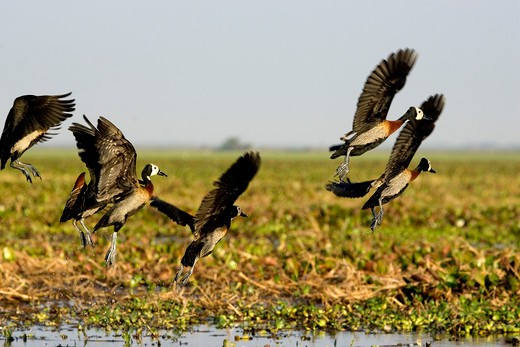White Faced Whistling Duck, dendrocygna viduata, Group in Flight, Los Lianos in Venezuela : Stock Photo