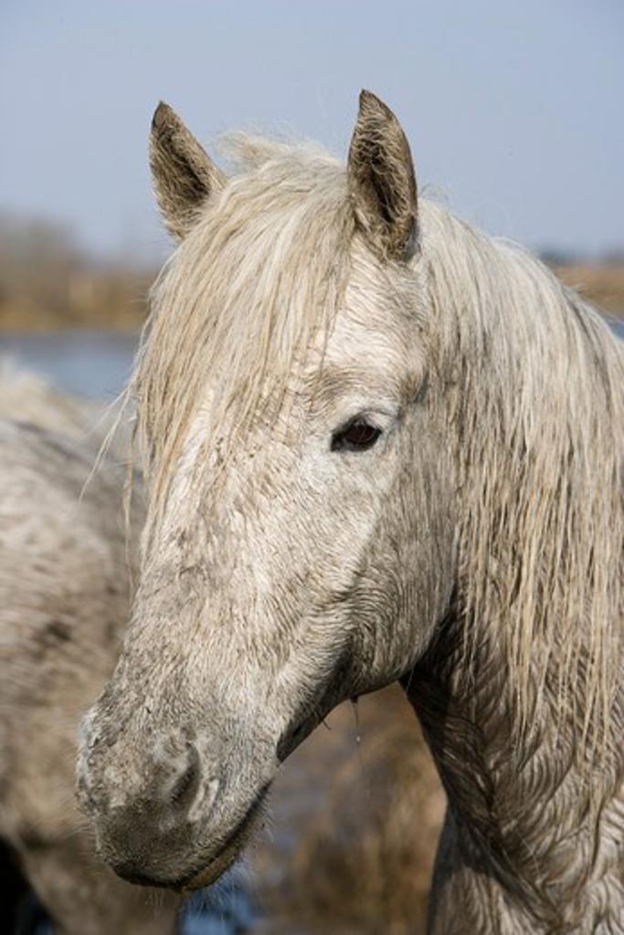 Camargue Horse, Portrait, Saintes Marie de la Mer in Camargue, South of France : Stock Photo