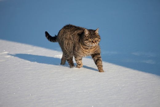 Brown Tabby Domestic Cat, Female walking on Snow, Normandy : Stock Photo